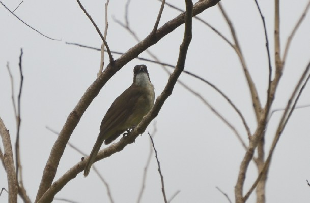 Simple Greenbul (Leaflove)