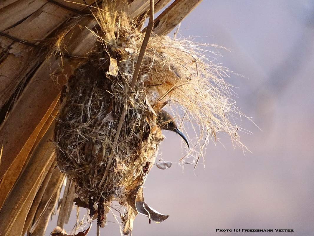 Scarlet-chested Sunbird at the nest