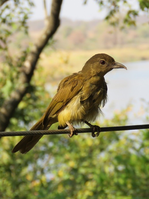 Yellow-bellied Greenbul waiting for crumbs at the lodge restaurant