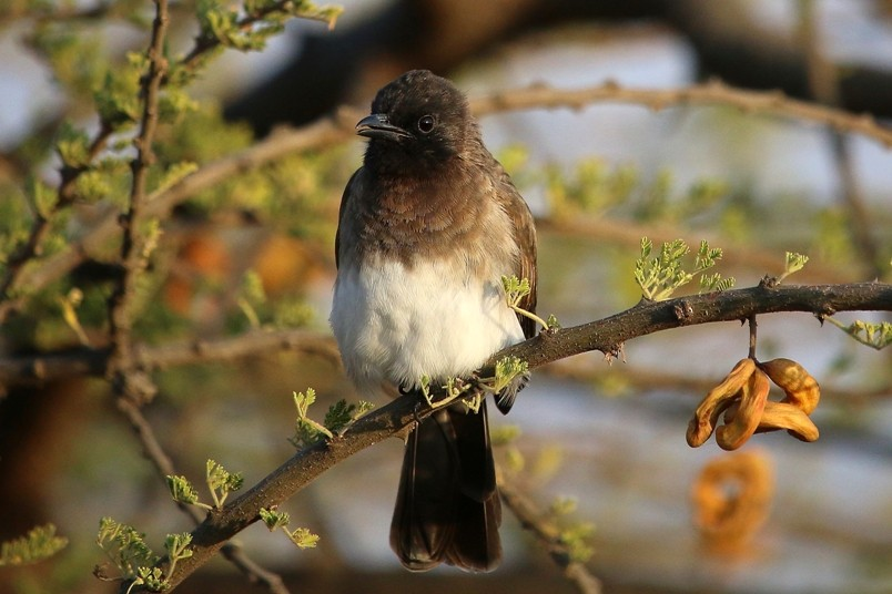 Common Bulbul at Lake Langano