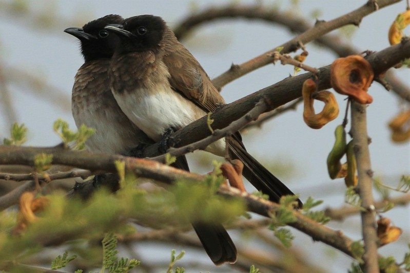Common Bulbuls at Lake Langano