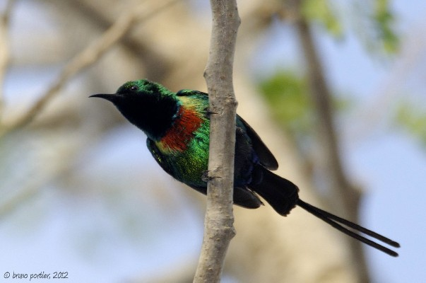 Beautiful sunbird in Pendjari National Park