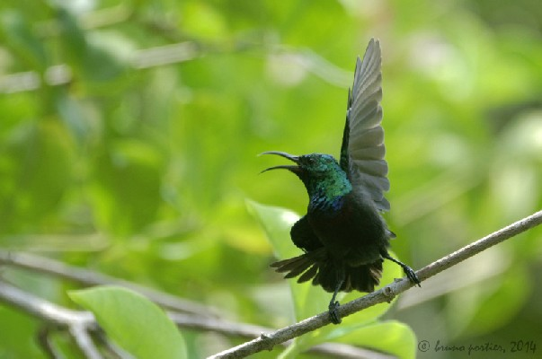 Purple-banded Sunbird - Male displaying