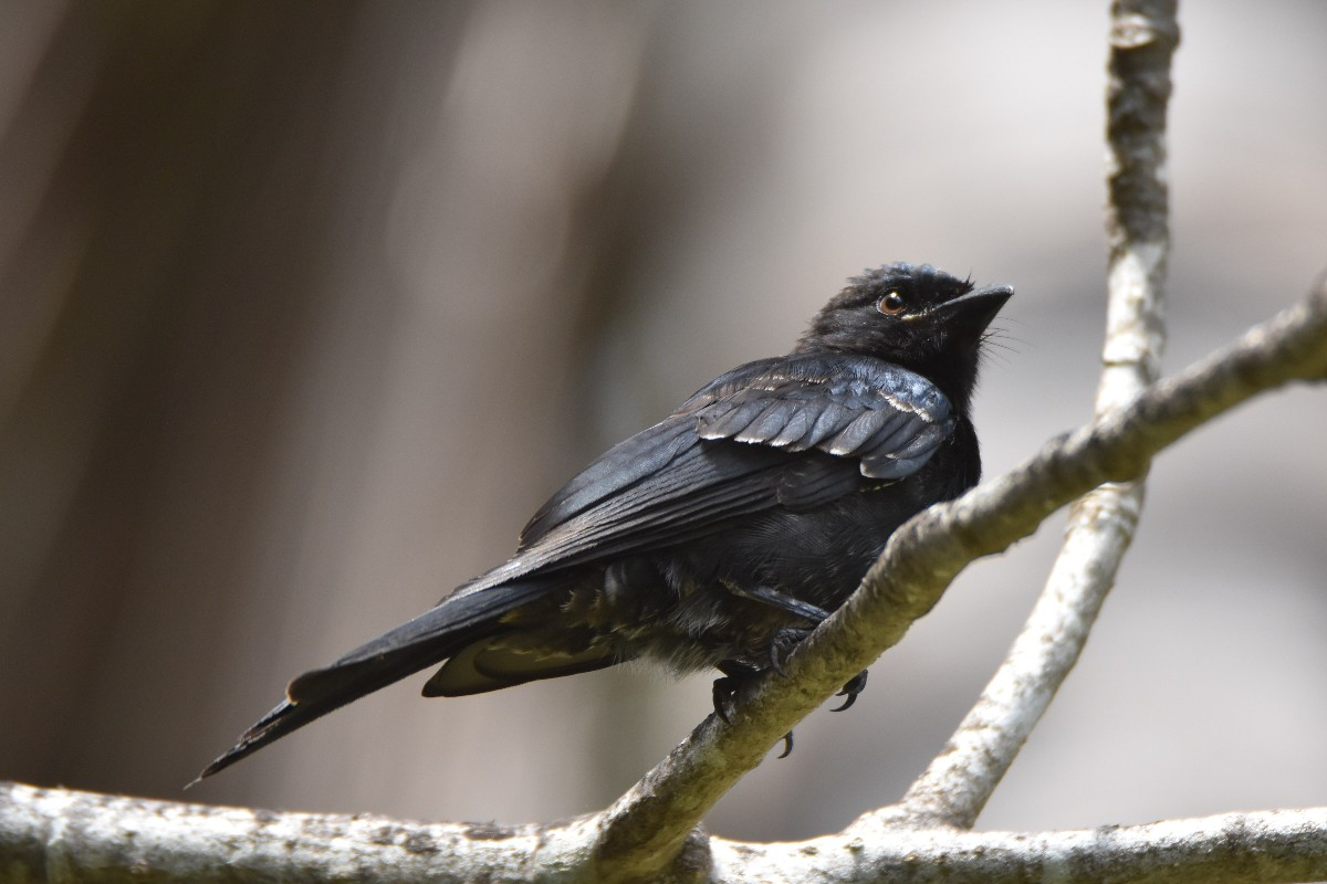 Juvenile Fork-tailed Drongo
