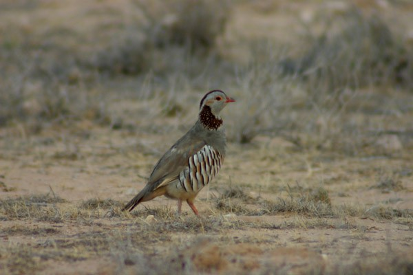 Barbary Partridge