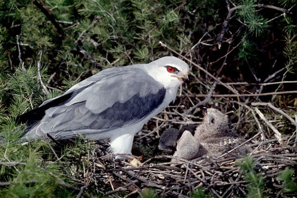 Black-shouldered Kites