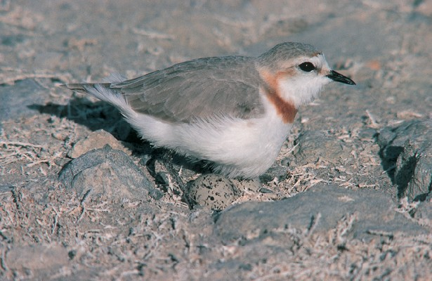 Chestnut-banded Plover at nest