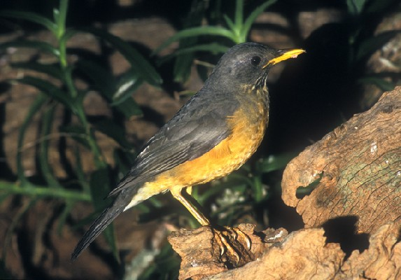 Olive Thrush at bird table