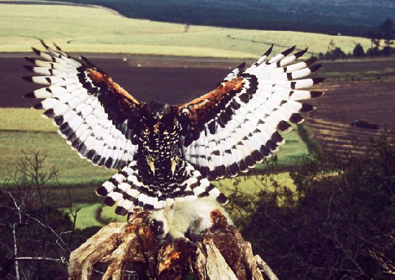 Crowned Eagle alighting on plucking post