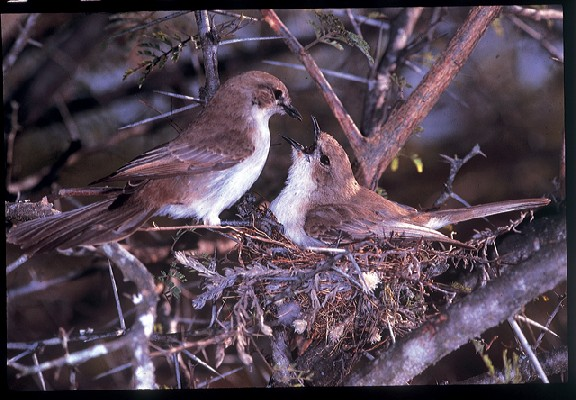 Marico Flycatcher - male feeding female on nest