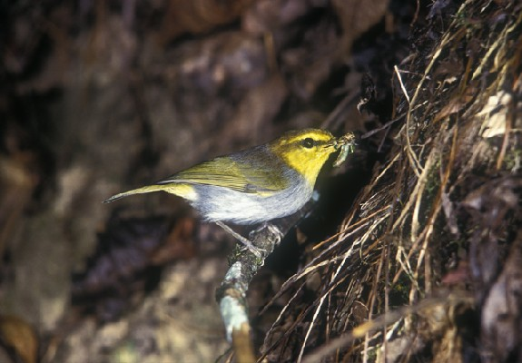 Yellow-throated Woodland-Warbler feeding chicks