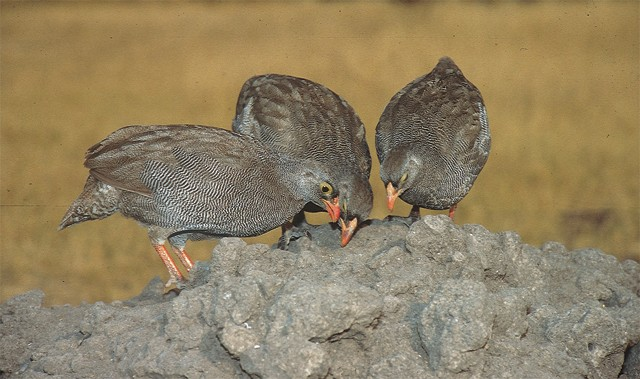 Red-billed Francolin feeding on Termitaria