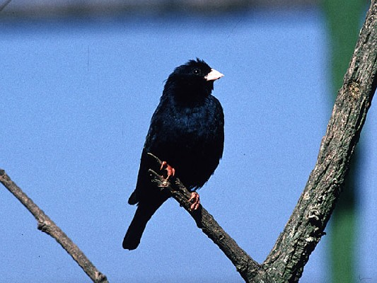 Variable Indigobird