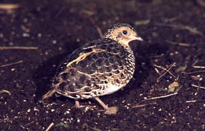 Black-rumped Buttonquail