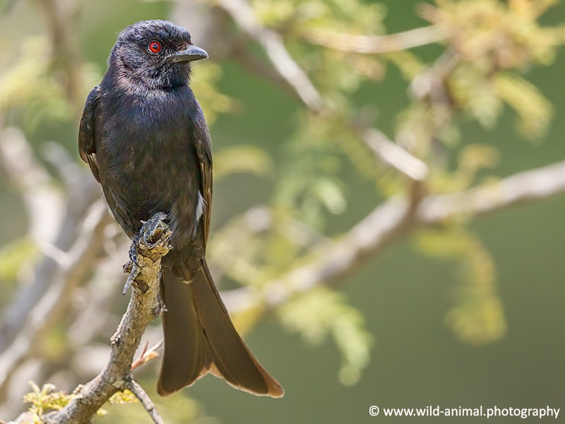 Fork-tailed (Common) Drongo