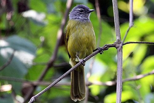 Olive-breasted Mountain Greenbul
