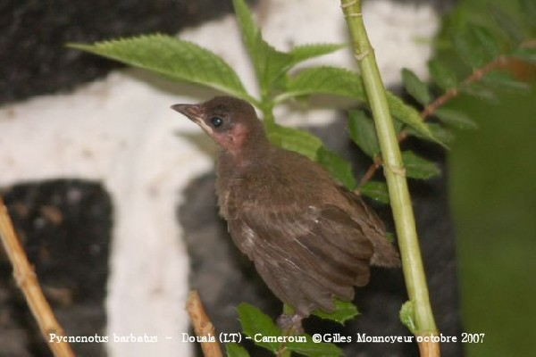 Common Bulbul first flight