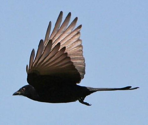 Forked Tailed Drongo Flying