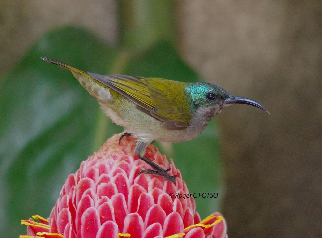 Green Headed Sunbird