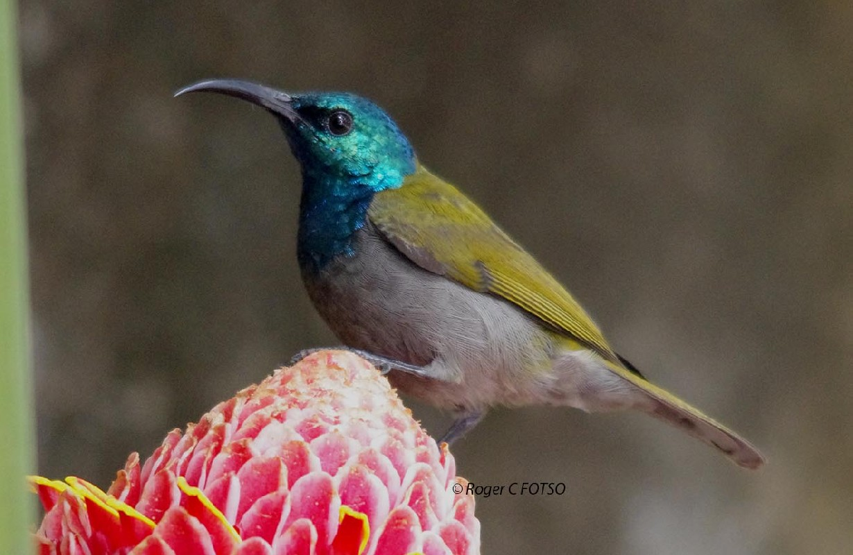 Green Headed Sunbird Regular garden bird in Yaounde