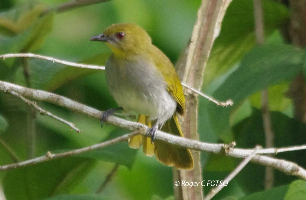 Falkenstein Greenbul