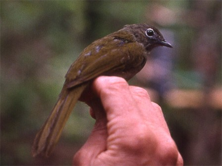 Shelley's Greenbul