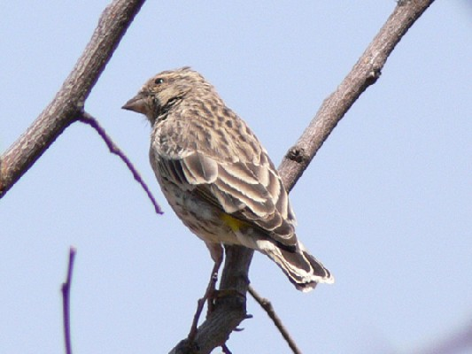 Black-throated Canary