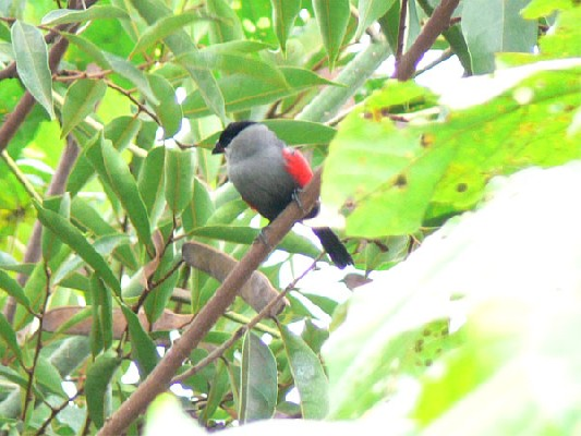 Black-headed Waxbill