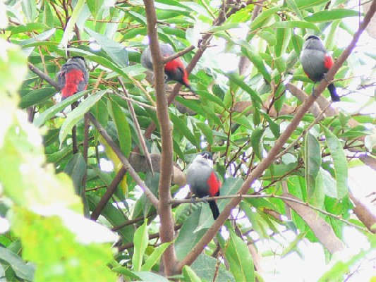 Black-headed Waxbills
