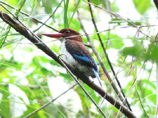 Chocolate-backed Kingfisher