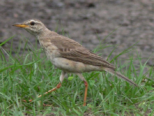 Long-legged Pipit
