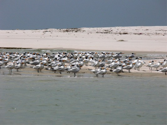 West African Crested Tern colony