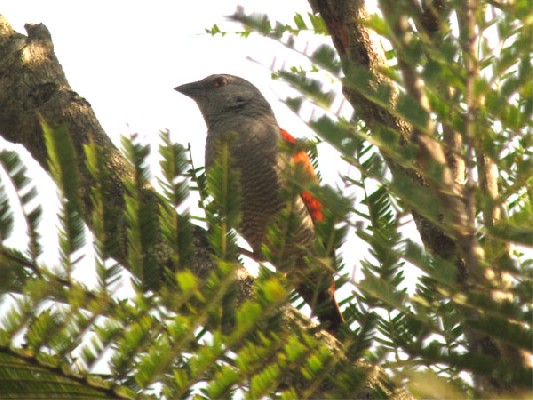 Red-winged Pytilia