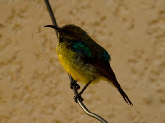 Collared Sunbird female