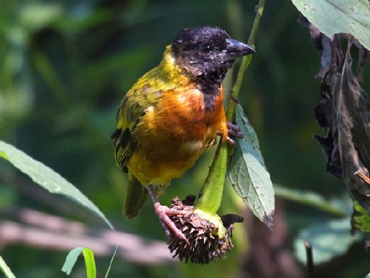 Black-headed aka Yellow-backed Weaver