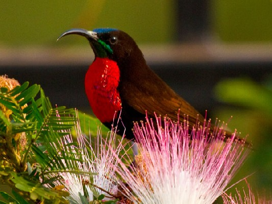 Scarlet-chested Sunbird