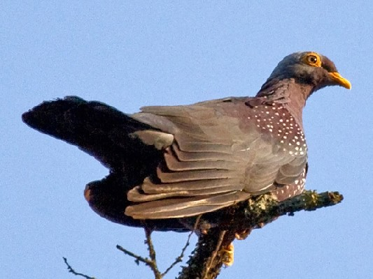 African Olive Pigeon