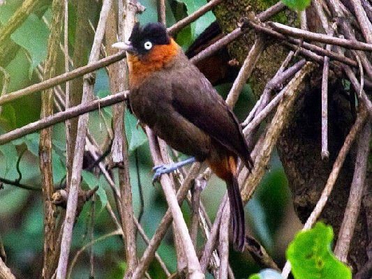 Red-collared (Mountain) Babbler