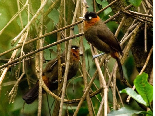 Red-collared (Mountain) Babblers