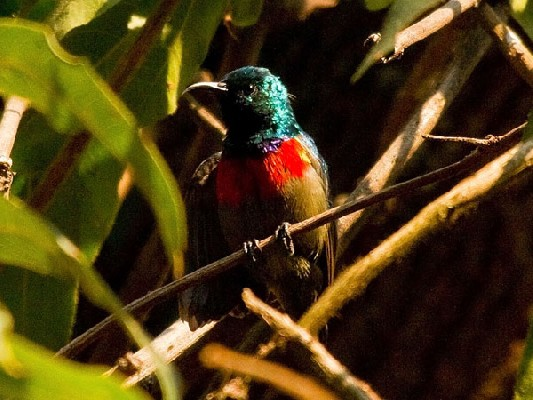 Ruwenzori Double-collared Sunbird