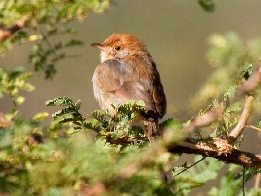 Tabora (Long-tailed) Cisticola