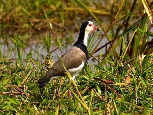 Long-toed Lapwing