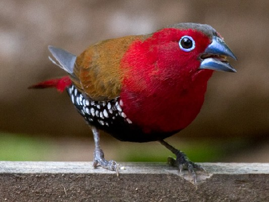 aka Red-throated Twinspot