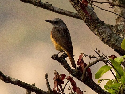 Miombo Rock Thrush