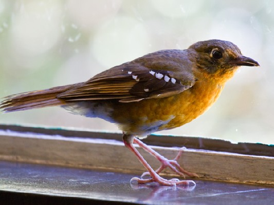 Orange Ground-Thrush