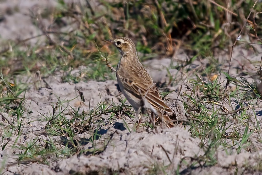 Woodland Pipit