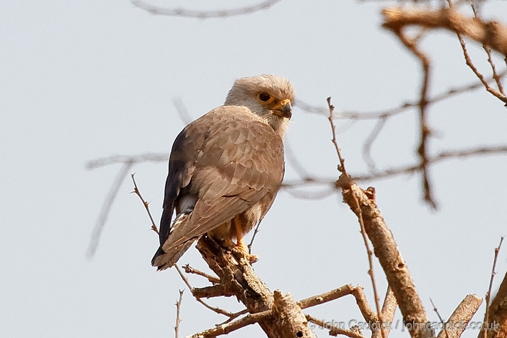Dickinson's Kestrel