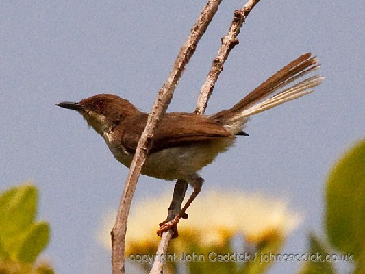 Buff-throated Apalis
