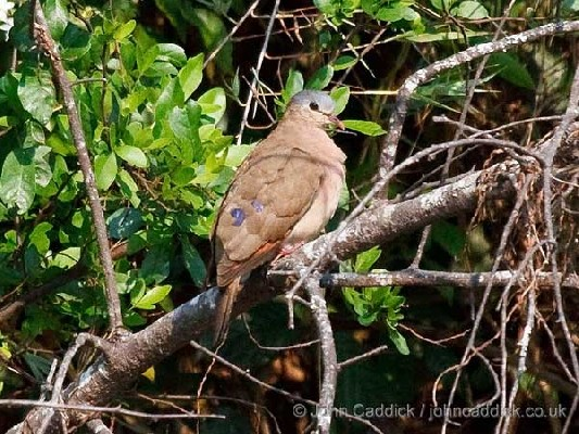 Blue-spotted Wood Dove