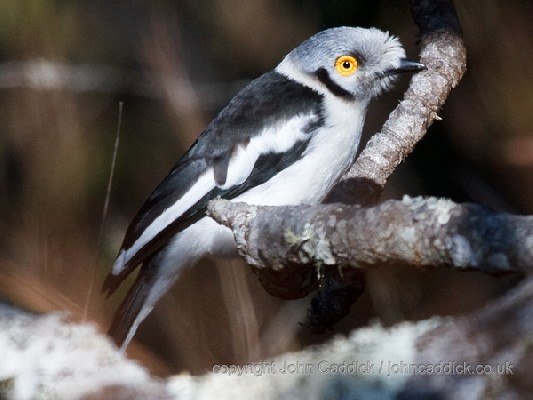 White-crested Helmet Shrike